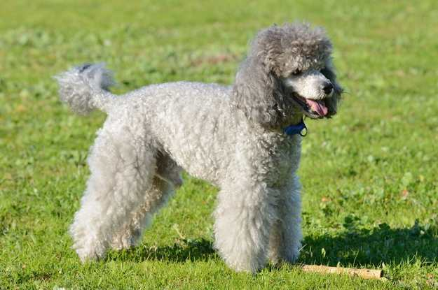 Toy Poodle, a Popular Breed in the U.S.