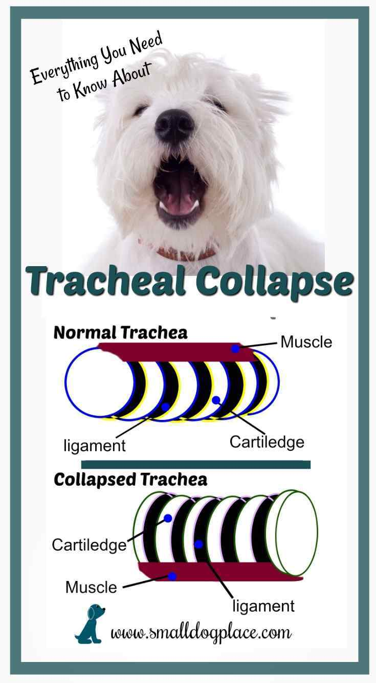 Small Dogs are Prone to Tracheal Collapse