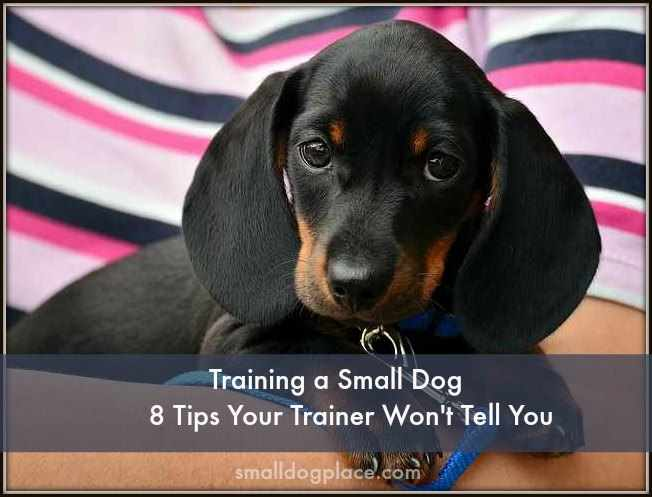 Training a Small Dog:  8 Tips Your Trainer Won't Tell You