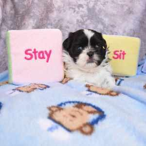 Training Small Dogs Picture Link