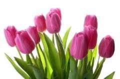 Tulip or Narcissus