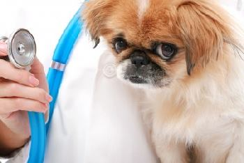Veterinarian with a small Japanese Chin Dog.