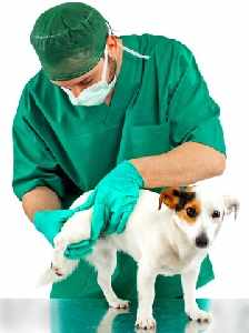 Veterinarian is examining the hip of a small dog.