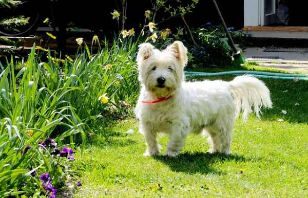 West Highland White Terrier or Westie for Short