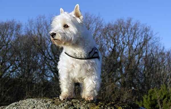 History of the West Highland White Terrier