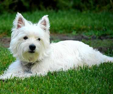 West highland white terrier breed information - Pictures of westie dogs ...