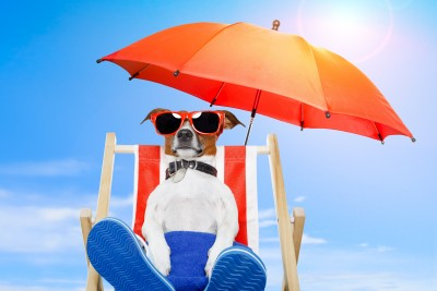A Jack Russell Terrier is sitting on a beach chair below an umbrella.