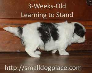 Three week old puppy in the Awareness Stage is learning to stand.