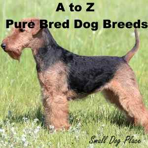 A to Z All Small Dog Breeds