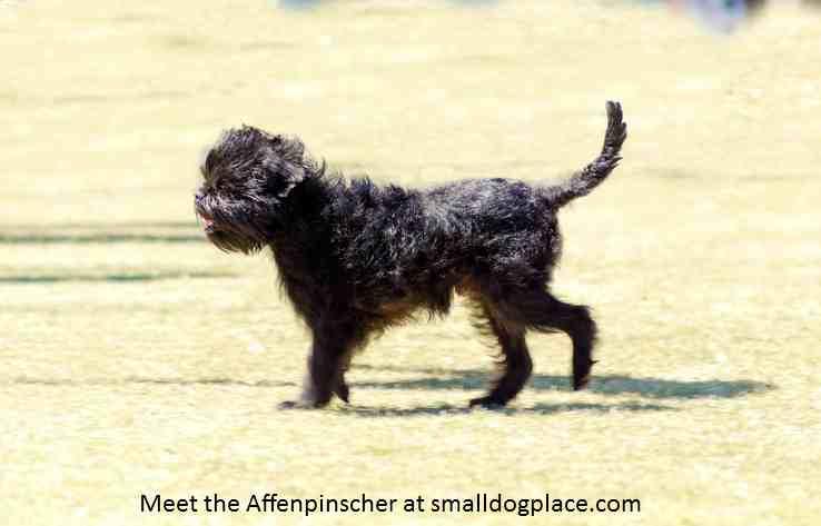 Affenpinscher:  The Monkey Dog