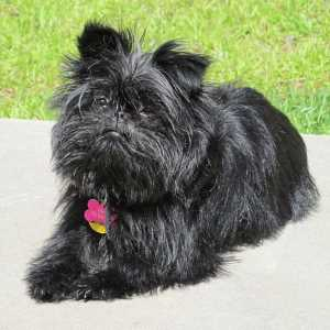 Black Affenpinscher Dog Breed Link to Breed Profile Page