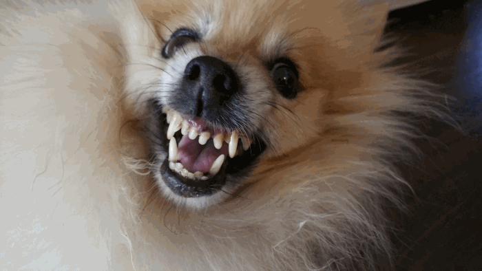 Aggression in small dogs