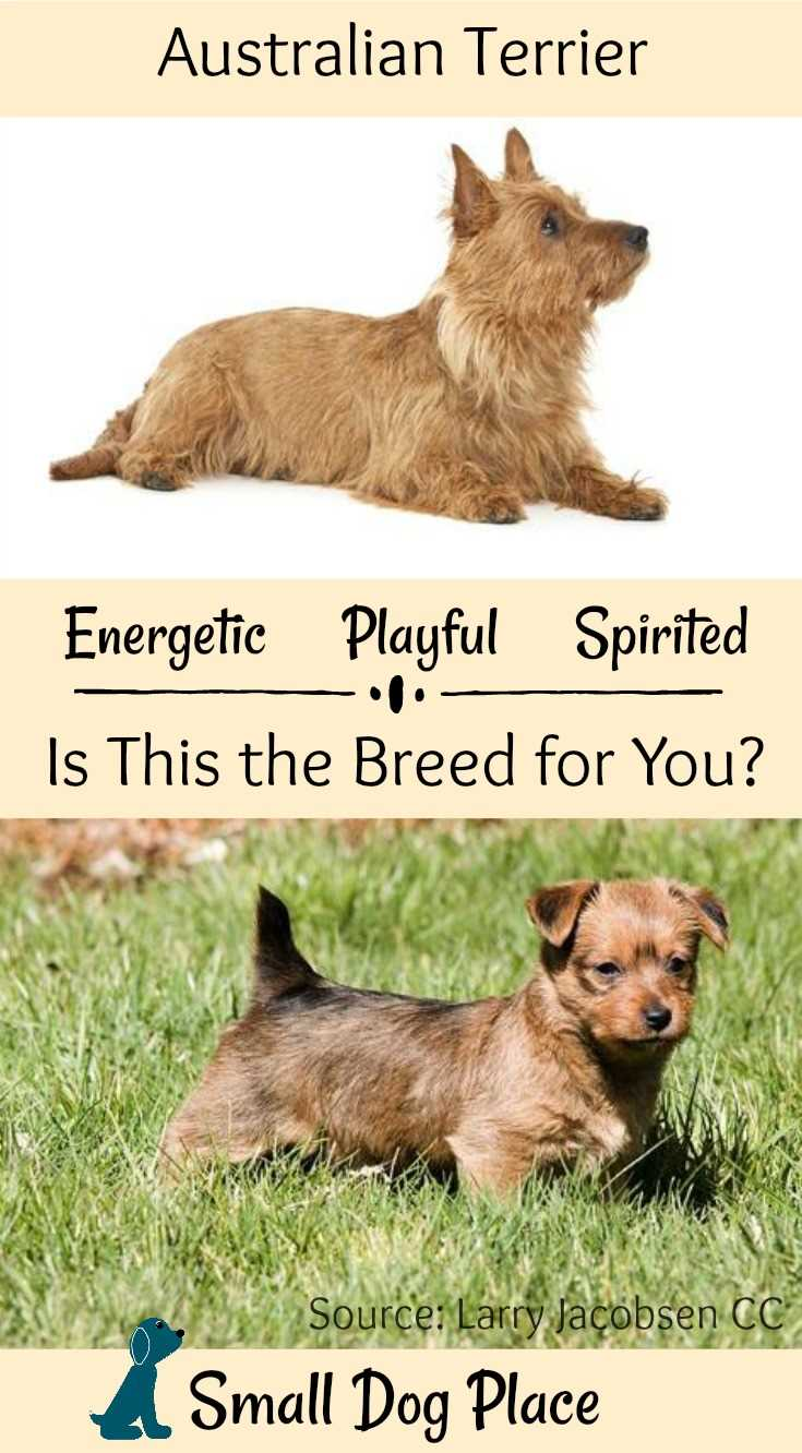 The Australian Terrier - Energetic, Playful Spirited at #SmallDogPlace
