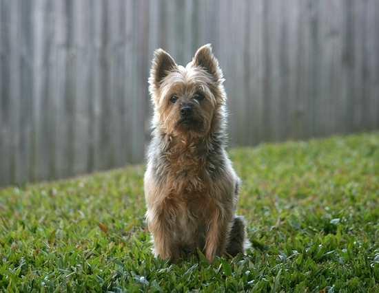 The Australian Terrier Dog Breed