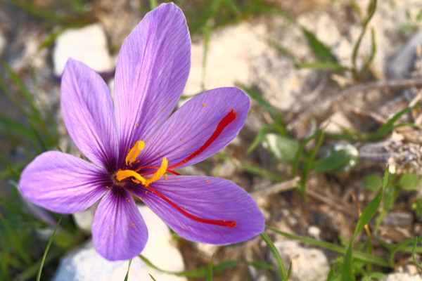 Autumn Crocus or Meadow Saffron is toxic to dogs