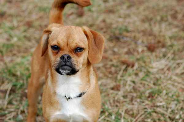 Beagle and Pug Mixed Breed or Puggle (Pros and Cons of Cross Bred Dogs