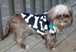 Bebe, Shih Tzu is wearing a hoodie to stay warm on cold Spring Days.
