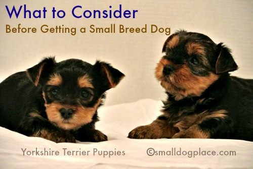 Two Yorkshire Terriers:  What to consider before getting a small dog.