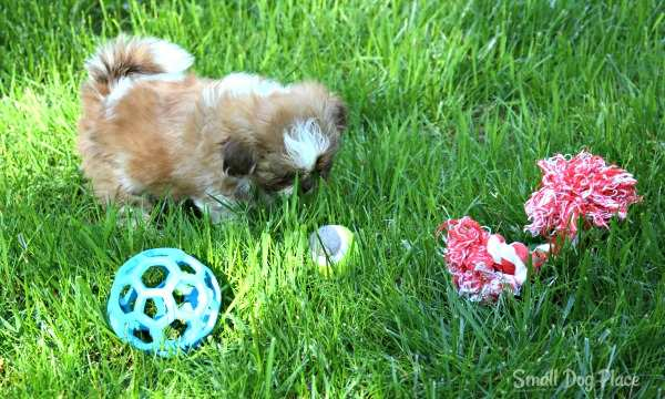Rope Toys are a Good Choice for small breed dogs.
