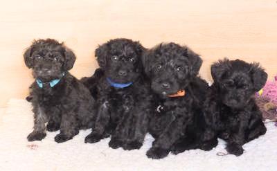 Four black Schnoodles (Schnauzer and Poodle Hybrid