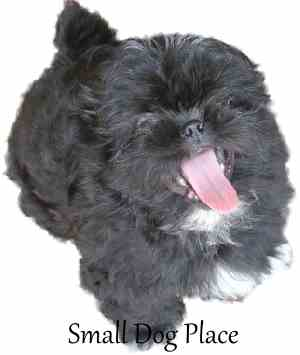 Best Small Anime Adorable Dog - xBlack-Shih-Tzu-Puppy3  Image_99773  .jpg