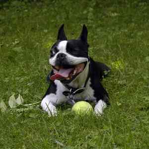 Boston Terrier:  Number 21 in Popularity