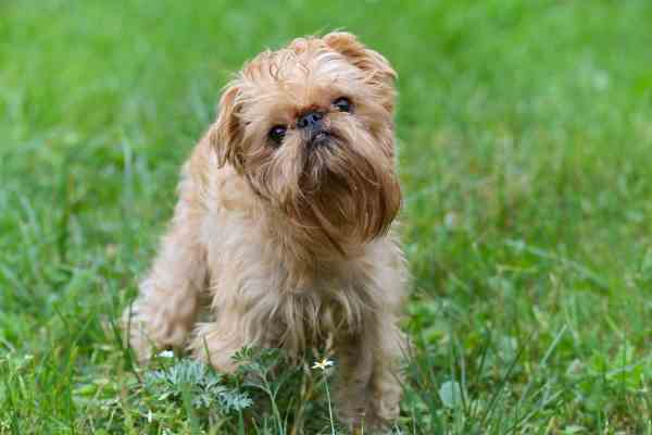 The Comical, loyal Brussels Griffon