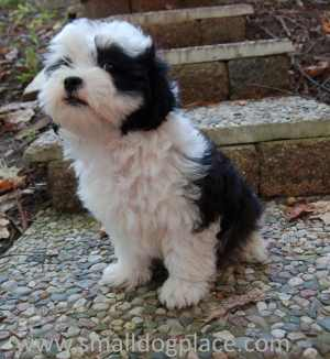 Small black and white puppy
