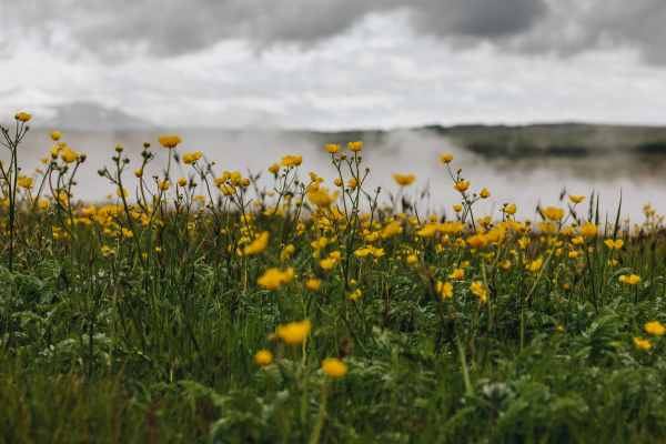 The buttercup, a common field weed is dangerous to dogs.