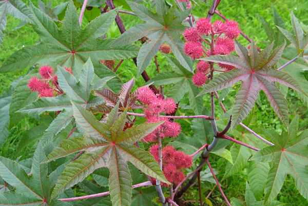 Castor Bean or Castor Oil Plant, Mole Bean Plant, African Wonder Tree is poisonous to dogs.