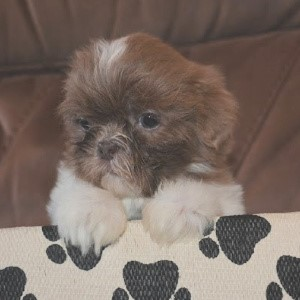 cute small breed puppy looking at the camera.