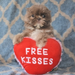 Valentine Puppies as Gifts
