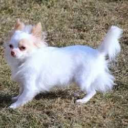 Chihuahua, Long Hair