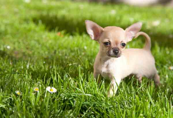 Chihuahua, Short Hair