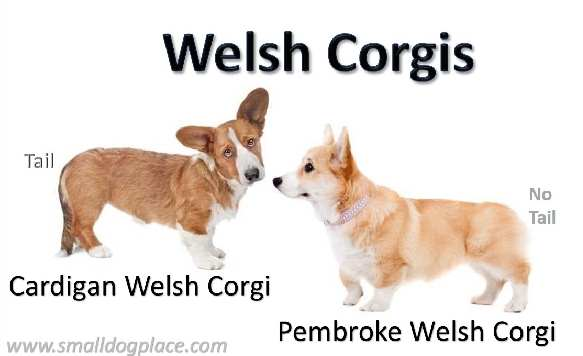 Comparing the Pembroke to the Cardigan Welsh Corgi