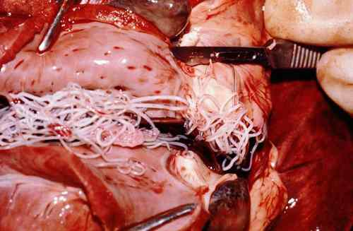 Heartworm Disease:  Showing the adult heartworms present in the heart. Source:  Wikimedia Commons