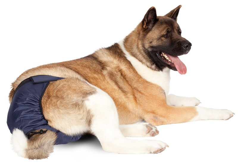 Dog Female Dog Diaper on a German Shepherd Dog