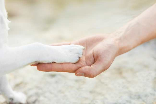 A white dog is shaking hands with a person.