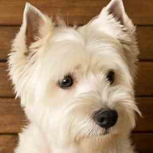 The West Highland White Terrier and his Prick Ears