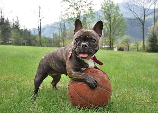 French Bulldogs do not require as much exercise as other bully breeds.