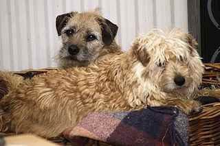 A Dutch Smoushond and Border Terrier