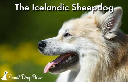 Icelandic Sheepdog:  Loyal, Friendly, Affectionate
