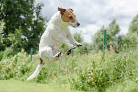 The High Energy Jack Russell Terrier