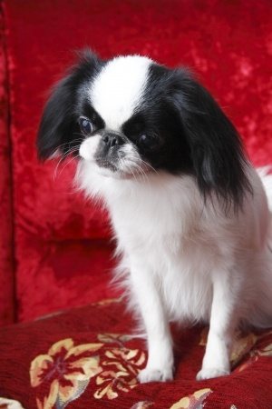 Japanese Chin Portrait