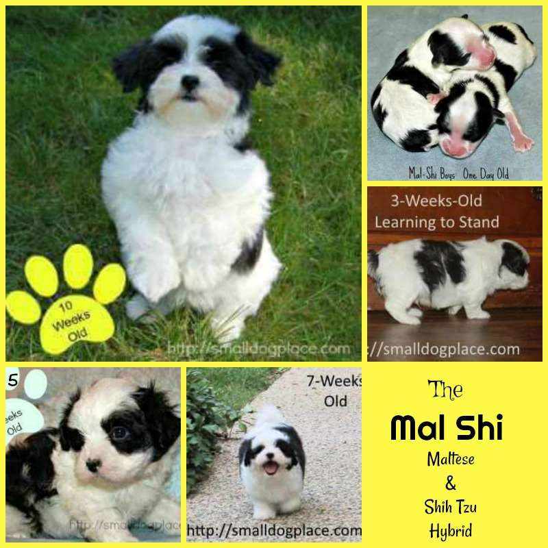 Development of a Mal-Shi Puppy