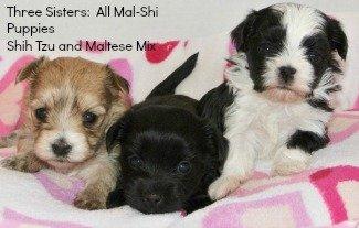 Maltese - Shih Tzu Designer Dog