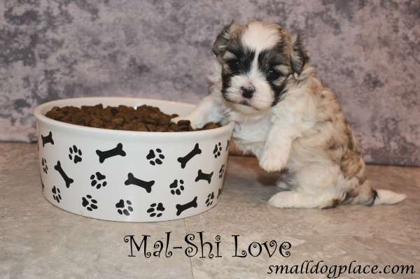 Mal Shi Puppy and his big bowl of food.