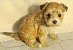 Mal Shi Puppy
