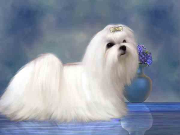 Maltese Dog in a Show Coat