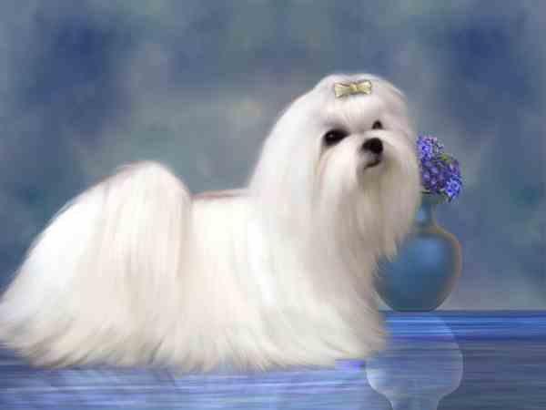 Maltese Dog in a Show Coat